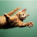 The jump of the cat